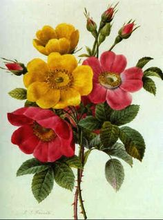 A BOUQUET OF ROSES by Pierre Joseph Redouté