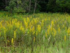 Showy Goldenrod tends to bloom a little later than most Goldenrods. It is indeed one of the showiest of the genus with a feathery plume comprised of a dense clump of pale yellow to deep yellow flowers atop an attractive red stem.