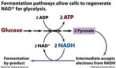 Image result for substrate level phosphorylation fermentation