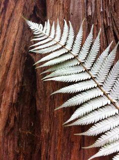 New Zealand Silver Fern against a Redwood.