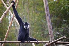 Animal Kingdom - Gibbon
