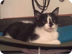 Saint Clair, MO - Domestic Shorthair. Meet Laverne, a kitten for adoption. http://www.adoptapet.com/pet/16594422-saint-clair-missouri-kitten