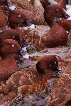 The Hardhead, Aythya australis, (also White-eyed Duck) is the only true diving duck found in Australia. Hardheads are common in the south-east of Australia, particularly in the Murray-Darling Basin, but also in the wetter country near the coasts.