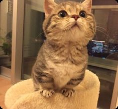 Dwarf Cats: Everything You Need To Know About Feline Dwarfism - Katzenrassen Beautiful Cats Cute Cats And Kittens, I Love Cats, Crazy Cats, Kittens Cutest, Short Legged Cats, Cute Baby Animals, Funny Animals, Animals Images, Animal Pictures