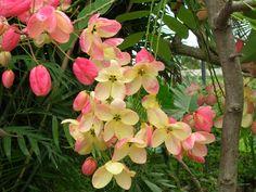 Cassia fistula x javanica | Rainbow Shower Tree