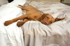 vizsla So Very True ! Mine prefers under the covers . Vizsla Puppies, Dogs And Puppies, Weimaraner, Vizsla Dog, Relaxing Photos, Hungarian Dog, Wirehaired Vizsla, Baby Animals, Gatos