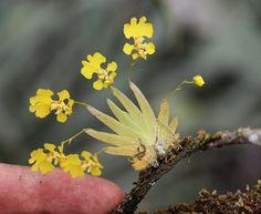 Psygmorchis (Oncidium) pusilla.