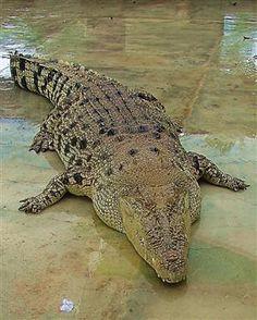 The King of Crocodiles 02