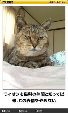 ライオンも猫科の仲間と知って以来、この表情をやめない