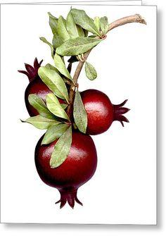 Pomegranate~Art by Ron Cantrell Botanical Illustration, Botanical Prints, Arte Judaica, Pomegranate Art, Fruit Photography, Jewish Art, Fruit Art, Watercolor Art, Fine Art Prints