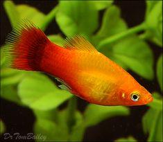 Variatus Platy Fish for sale at Aquarium.Fish.net.