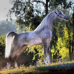 Dapple Grey Arabian