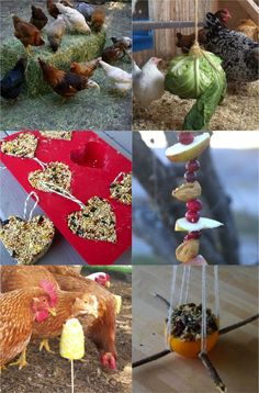 Ways to entertain chickens when they're cooped up in the winter