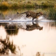 Photo by Pete McBride @pedromcbride // A female #lion splashes toward a wild dog kill in the Okavanga Delta of #Botswana. #Africa #wild #conservation #reflection  #petemcbride #bigcat @thephotosociety by natgeo
