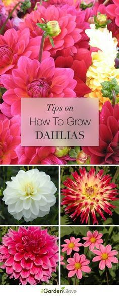 How to Grow Dahlias - this will be great for when I start my Dahlia tubers next month for the FIRST TIME EVER!!! I am sooo excited