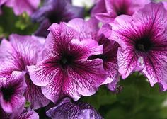 Petunias - Long-Blooming Flowers You Need in Your Landscape