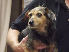 Princess is an adoptable Dachshund Dog in Shelbyville, IN. Princess is a miniature Dachshund mix that was picked up by animal control around  2000 North and 650 West.  We later found out that the dog ...