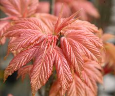 Acer pseudoplatanus 'Brilliantissimum' - Striking shrimp-pink leaves maturing to yellow-green and clusters of yellow-green spring flowers. This highly ornamental, spreading sycamore makes an excellent specimen tree. Smaller and slower growing than many other sycamores it is perfect for a small, sunny garden.