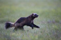 Wolverine (Gulo gulo). Finland. Photo by Robin Eriksson (at https://www.flickr.com/photos/fokusbild/16086229207/).
