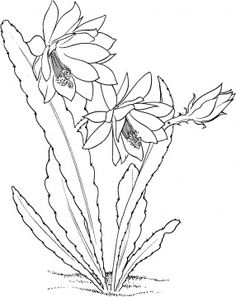 epiphyllum ackermannii orchid cactus coloring page from cactus category - Prickly Pear Cactus Coloring Page