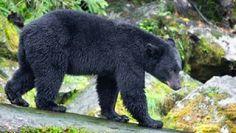Zwarte beer ; gevaarlijk