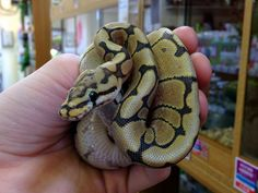 Honey Bee Royal at Northampton Reptile Centre... lovely
