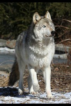 In the wild. Wolf Photos, Wolf Pictures, Animal Pictures, Beautiful Wolves, Animals Beautiful, Cute Animals, Beautiful Creatures, Pumas, Husky