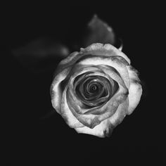 Rose in grey by Vanessa  Arellano on 500px