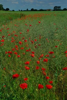 I'm not sure the farmers do, but I love the wild poppies in the fields!