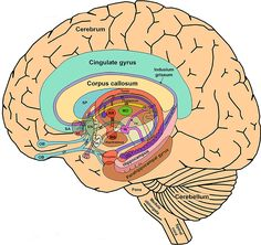 The_Limbic_System_and_Nearby_Structures_small