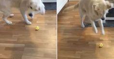 Cão 'sapateia' ao provar limão pela primeira vez e vira hit na web