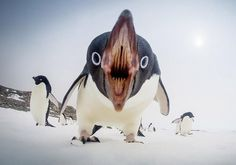 Penguins Can Be Scary Too Photography By: Gordon Trait