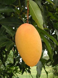 A good mango is full of light, it is like eating the sweetest sunshine! Eat one today!