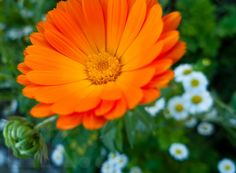 #calendula #flower #blüte #Ringelblume #garden #Garten