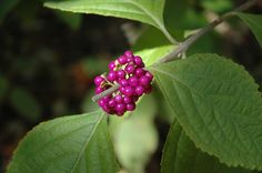 American Beautyberry.  Shade to pt shade, moist soil. Graceful, open, arching.  3 to 6 feet tall and wide.  Multivitamins for birds.