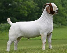 Able Acres Boer Goats - Boer Goats for sale---want for herd sire! Raising Farm Animals, Raising Goats, Livestock Farming, Goat Farming, Alpacas, Cabras Boer, Types Of Goats, Alpine Goats, Goat Picture