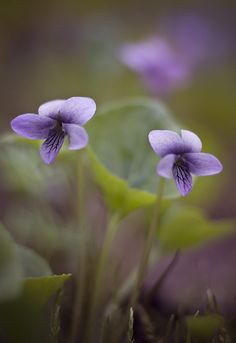 Marsh Violet by natans