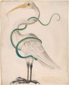 Maria Sibylla Merian   Heron Encircled by a Snake, with a Worm in his Bill   The Morgan Library & Museum