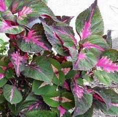"Amazon.com : Shiso Perilla Magilla - Beefsteak Plant, Ji Soo, Wild basil - 4"" Pot : Hirt's Gardens"