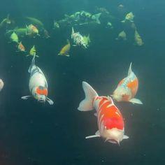Fish Pond Gardens, Koi Fish Pond, Koi Carp, Beautiful Sea Creatures, Animals Beautiful, Cute Animals, Beautiful Photos Of Nature, Beautiful Fish, Saltwater Aquarium Fish