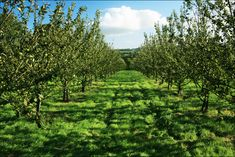 25 acres of Orchards to supply Longueville House Apple Brandy & Cider Distillery
