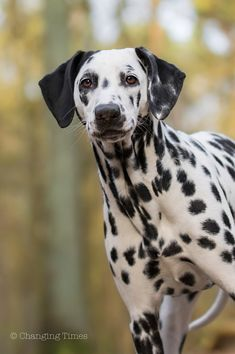 Dalmation by Changing Times Photography