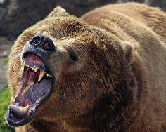 http://media.mnn.com/sites/default/files/styles/node-gallery-display/public/bear_1_0.jpg