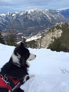 Border collie, Kobi, 1 year watching the Alps