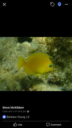 Blue tang juvie Blue Tang, Under The Sea, Caribbean, Fish, Pets, Animals, Animals And Pets, Animales, Animaux