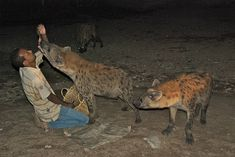 feeding wild hyenas in Harrar, Ethiopia, prolly not something we'll do while there