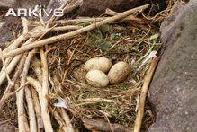 Shag nest with eggs