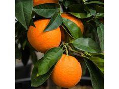 Citrus tree - Agrumi - Lemon/Orange | Derek