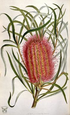 Red Swamp Banksia :: Banksia occidentalis. Houtte, L. van, Flore des serres et des jardin de l'Europe, vol. 6 (1850-1851)