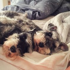 Puppy snuggles - part 2 | A community of Schnauzer lovers!